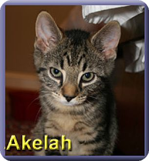 Domestic Shorthair Kitten for adoption in Aldie, Virginia - Akelah