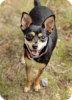 Chihuahua Mix Dog for adoption in Marietta, Georgia - Lexi