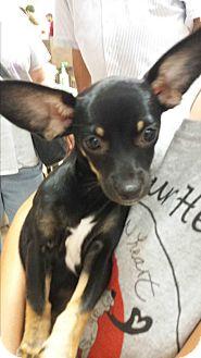 Miniature Pinscher/Chihuahua Mix Puppy for adoption in Mesa, Arizona - Buttercup