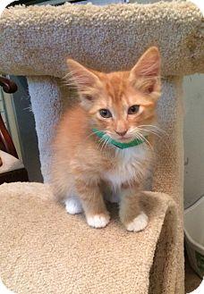 Domestic Mediumhair Kitten for adoption in Big Canoe, Georgia - Opie