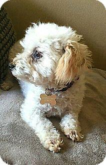 """Miniature Poodle Dog for adoption in Seattle, Washington - """"Waffles Jackson"""""""