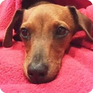 Dachshund Mix Puppy for adoption in Houston, Texas - Viktor Veer