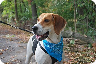 Coonhound Dog for adoption in New Castle, Pennsylvania - Cupcake
