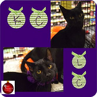 Domestic Shorthair Kitten for adoption in Washington, Pennsylvania - KC and LC
