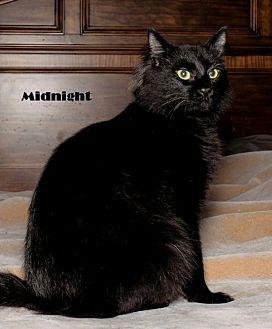 Bombay Cat for adoption in Baton Rouge, Louisiana - Midnight