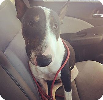 Bull Terrier Dog for adoption in Los Angeles, California - Mickey