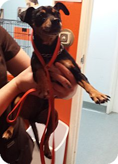 Miniature Pinscher/Chihuahua Mix Dog for adoption in Westminster, California - Popper