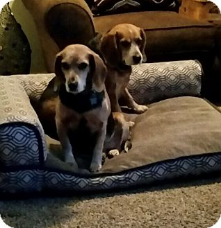 Beagle Dog for adoption in Sterling Hgts, Michigan - Bella and Roxi (love us)