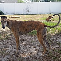 Adopt A Pet :: Leta - Brandon, FL