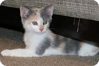 Calico Kitten for adoption in Litchfield Park, Arizona - Layla
