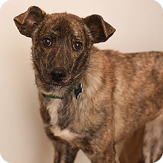 Whippet/Mountain Cur Mix Dog for adoption in Kanab, Utah - Athena