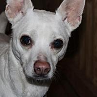 Adopt A Pet :: Q-Tip - Gilbertsville, PA