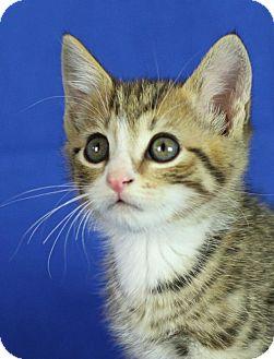 Domestic Shorthair Kitten for adoption in Winston-Salem, North Carolina - Luigi