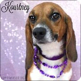 Beagle Dog for adoption in South Plainfield, New Jersey - Kourtney