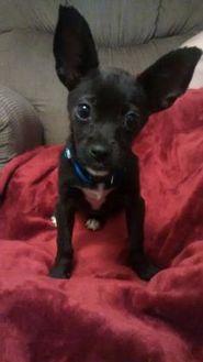 Chihuahua Mix Dog for adoption in Columbia, South Carolina - Eve