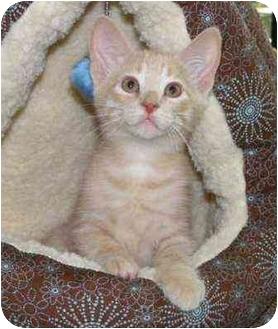 Domestic Shorthair Kitten for adoption in Okotoks, Alberta - Tick
