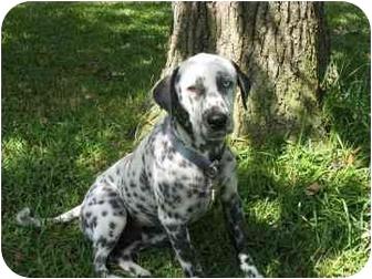 Dalmatian Dog for adoption in League City, Texas - Jet