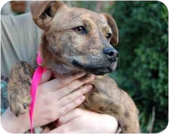 Terrier (Unknown Type, Medium)/Hound (Unknown Type) Mix Puppy for adoption in White Plains, New York - Sasha