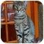Photo 1 - Manx Cat for adoption in Tillamook, Oregon - Rudy