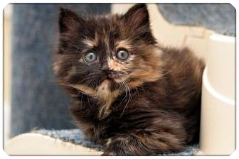 Domestic Mediumhair Kitten for adoption in Sterling Heights, Michigan - Echo - ADOPTED!
