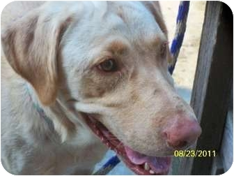 Labrador Retriever Mix Dog for adoption in Chicago, Illinois - Patty