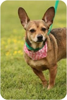 Chihuahua Mix Dog for adoption in Cranford, New Jersey - Tiny