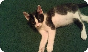 Domestic Shorthair Kitten for adoption in Modesto, California - Elvis