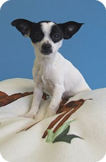 Chihuahua Mix Puppy for adoption in Kalamazoo, Michigan - Zilla