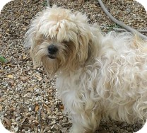 Bichon Frise/Shih Tzu Mix Dog for adoption in St. Petersburg, Florida - Jenkins