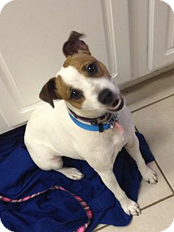 Jack Russell Terrier Mix Dog for adoption in Houston, Texas - Kennedy in Houston