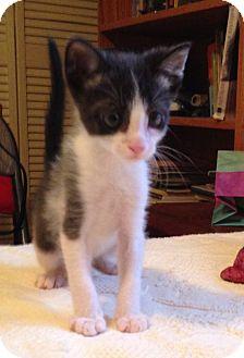 Domestic Shorthair Kitten for adoption in Gainesville, Florida - Blaze