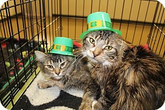 Maine Coon Cat for adoption in Battle Creek, Michigan - MJ