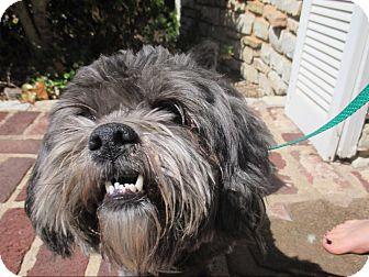 Shih Tzu Dog for adoption in Astoria, New York - Banana Joe
