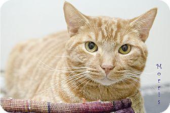 Domestic Shorthair Cat for adoption in Sarasota, Florida - Morris