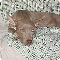 Adopt A Pet :: Piper - Orlando, FL