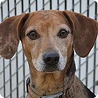 Adopt A Pet :: Bella- in CT - West Hartford, CT