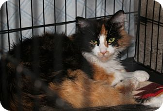 Domestic Longhair Cat for adoption in Colville, Washington - Layla