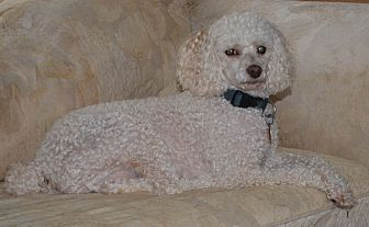Poodle (Miniature) Mix Dog for adoption in Westfield, Indiana - Harry