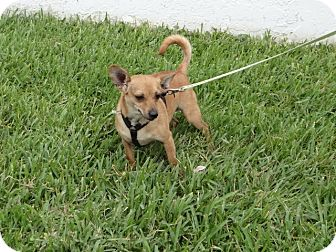 Chihuahua/Terrier (Unknown Type, Small) Mix Dog for adoption in Palmetto Bay, Florida - Tony