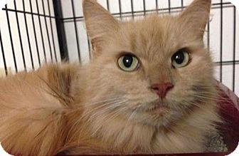 Domestic Longhair Cat for adoption in Newburgh, Indiana - Big Fluff