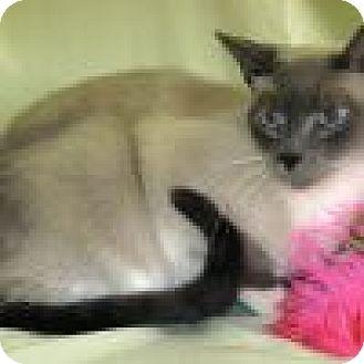 Siamese Cat for adoption in Powell, Ohio - Taji