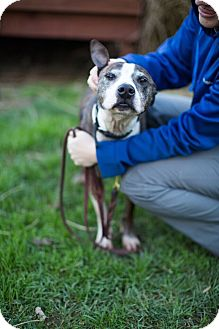 Pit Bull Terrier Mix Dog for adoption in Reisterstown, Maryland - Clipper