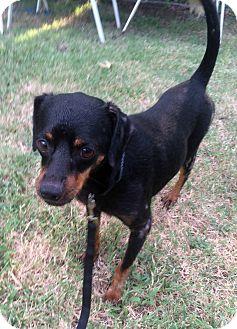 Miniature Pinscher Mix Dog for adoption in Astoria, New York - Jackie Brown