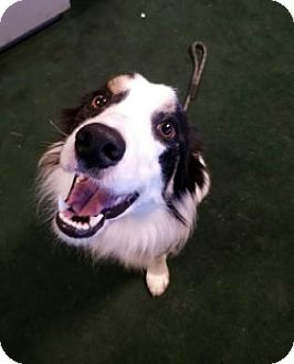 Border Collie Dog for adoption in Gustine, California - SHELBY