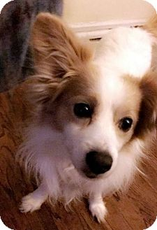 Papillon/Cavalier King Charles Spaniel Mix Dog for adoption in West Bloomfield, Michigan - Max - Adopted!