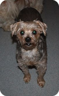 Yorkie, Yorkshire Terrier Mix Dog for adoption in Homer, New York - Jordan
