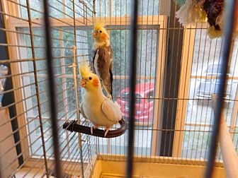 Cockatiel for adoption in Millerstown, Pennsylvania - L and M