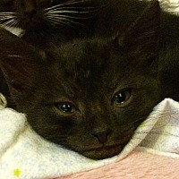 Domestic Shorthair Kitten for adoption in Tampa, Florida - Bart