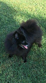 Pomeranian Dog for adoption in Dallas, Texas - BeBe