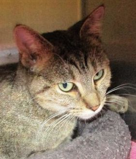 Domestic Shorthair/Domestic Shorthair Mix Cat for adoption in Memphis, Tennessee - Nadeen